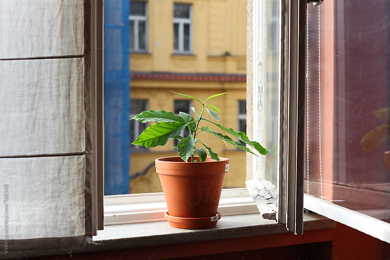 Avocado plant in an earthen flower pot  by Marija Mandic for Stocksy United