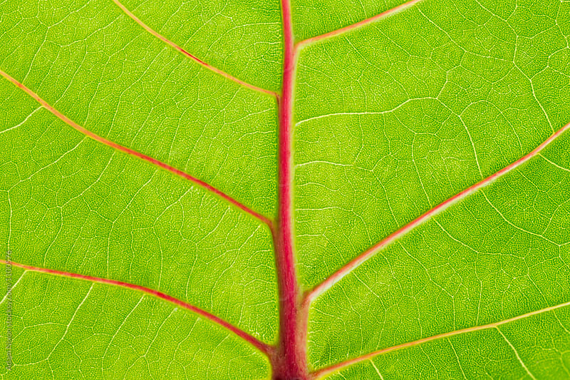 Close-up of a seagrape leaf by Adam Nixon for Stocksy United