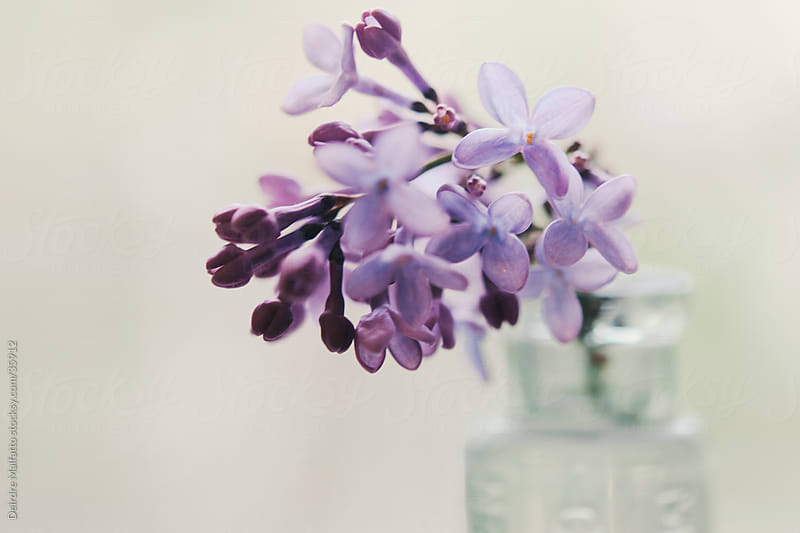 sprig of lilac flowers in glass bottle by Deirdre Malfatto for Stocksy United