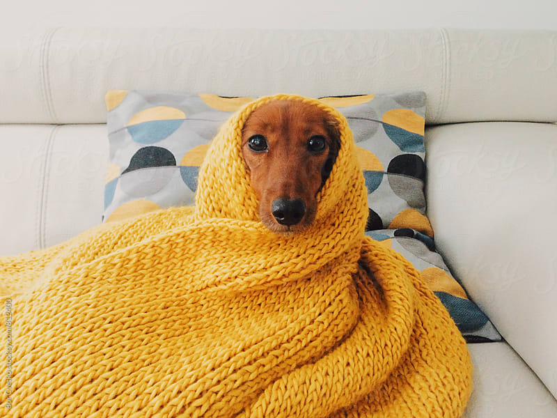 Dog in yellow scarf by Bor Cvetko for Stocksy United