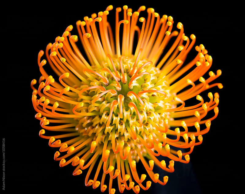 Pincushion Protea Flower by Adam Nixon for Stocksy United