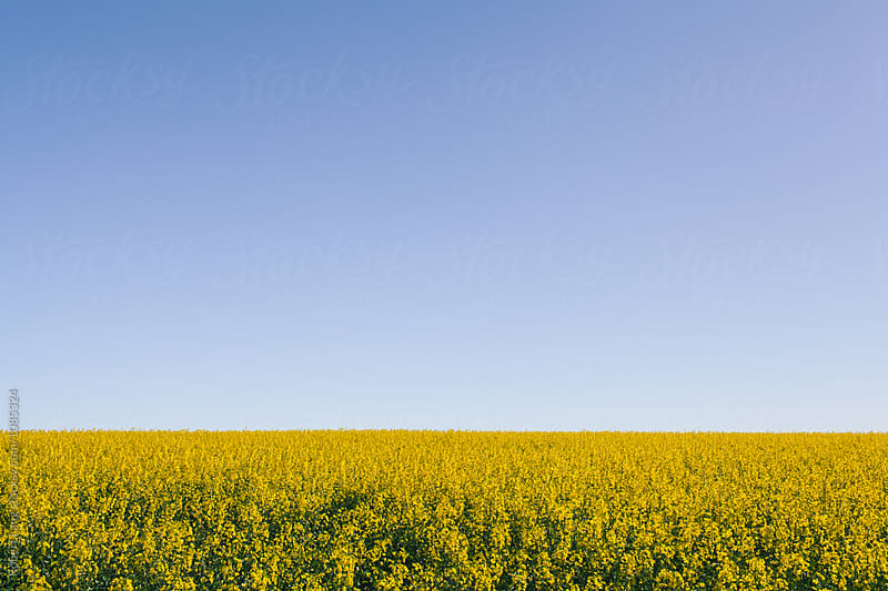 A field of canola flowers grows under an empty blue sky by Robert Lang for Stocksy United