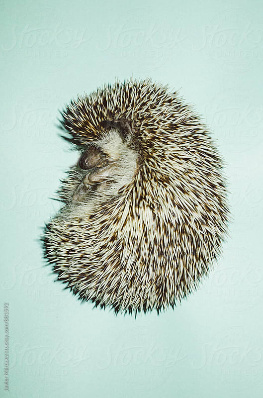 Hedgehog sleeping by Javier Marquez for Stocksy United