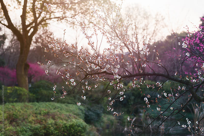 Backlit Plum Blossoms by Kimberly Kendall for Stocksy United