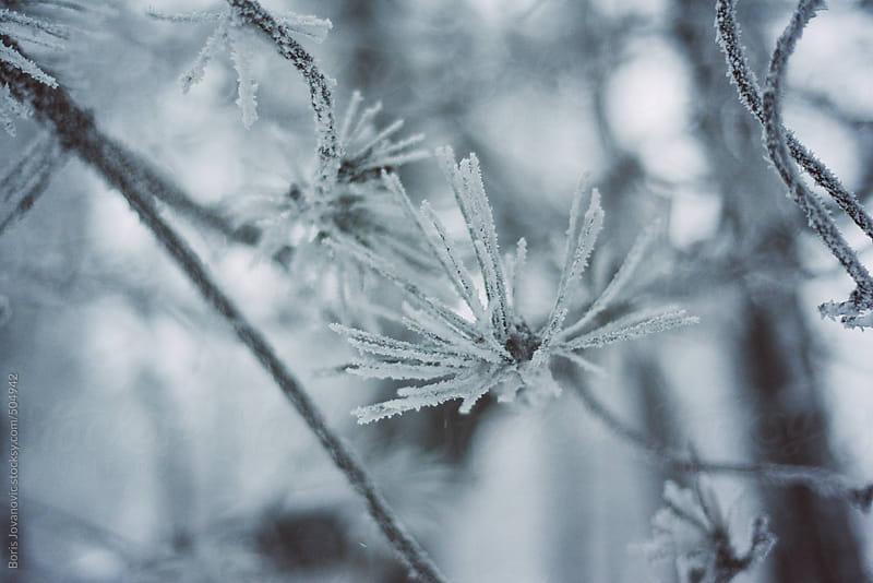 Frozen needles by Boris Jovanovic for Stocksy United