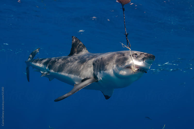 Great white shark attacks a bait by Caine Delacy for Stocksy United