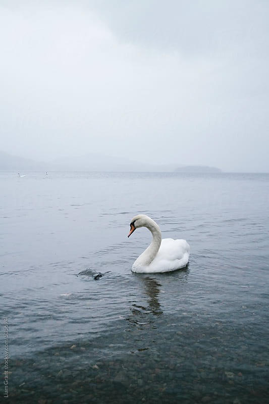 Swan on a lake in misty rain.  by Liam Grant for Stocksy United