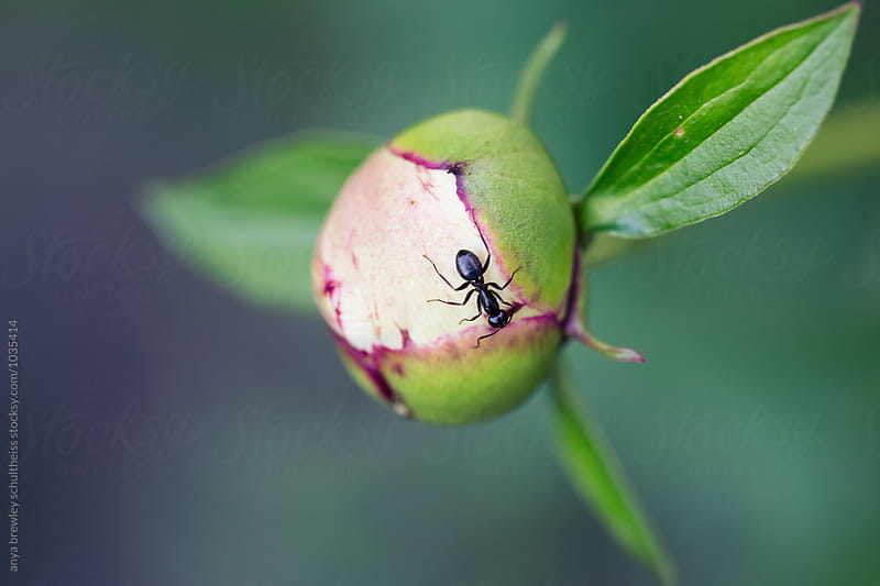 Close up image of a black ant eating the sap from a flower bud by anya brewley schultheiss for Stocksy United