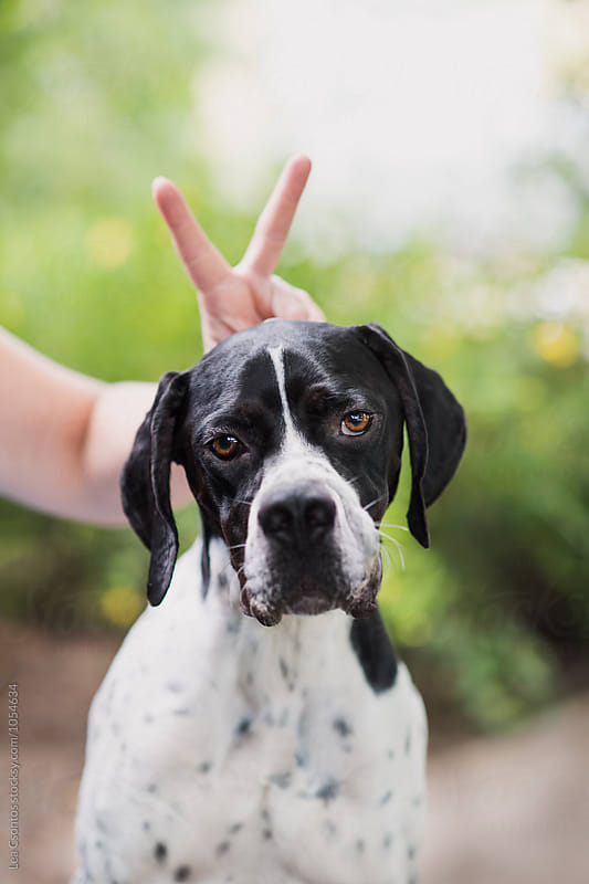 Funny portrait of a pointer by Lea Csontos for Stocksy United