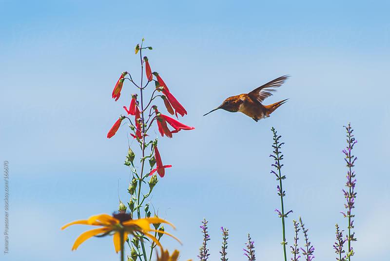 Side View Of Flying Hummingbird by Tamara Pruessner for Stocksy United