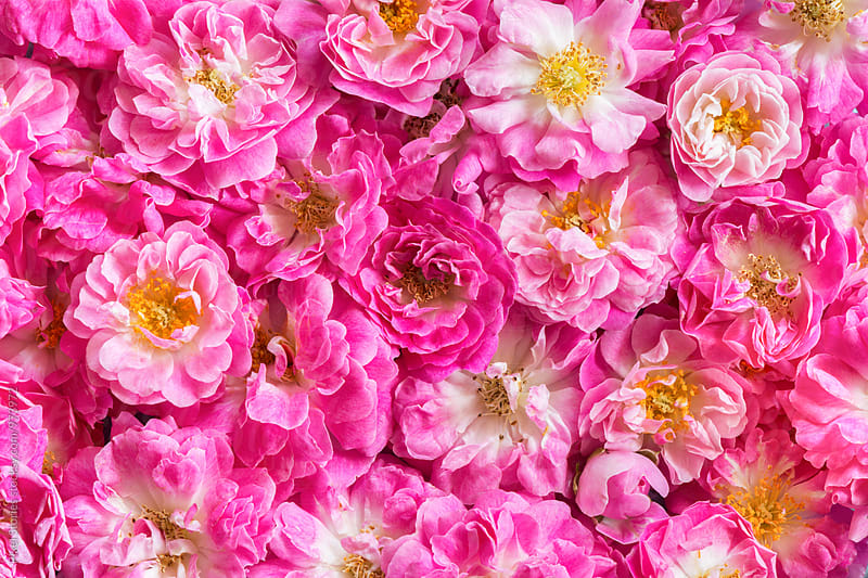 Pink roses background by Pixel Stories for Stocksy United