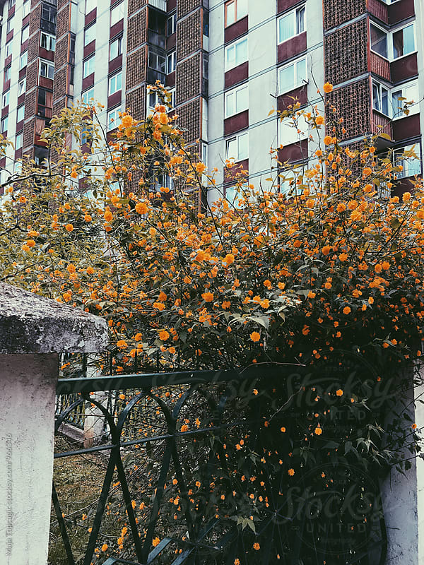 A fence covered in orange flowers by Maja Topcagic for Stocksy United