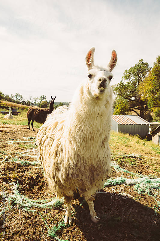 Llamas by Anjali Pinto for Stocksy United