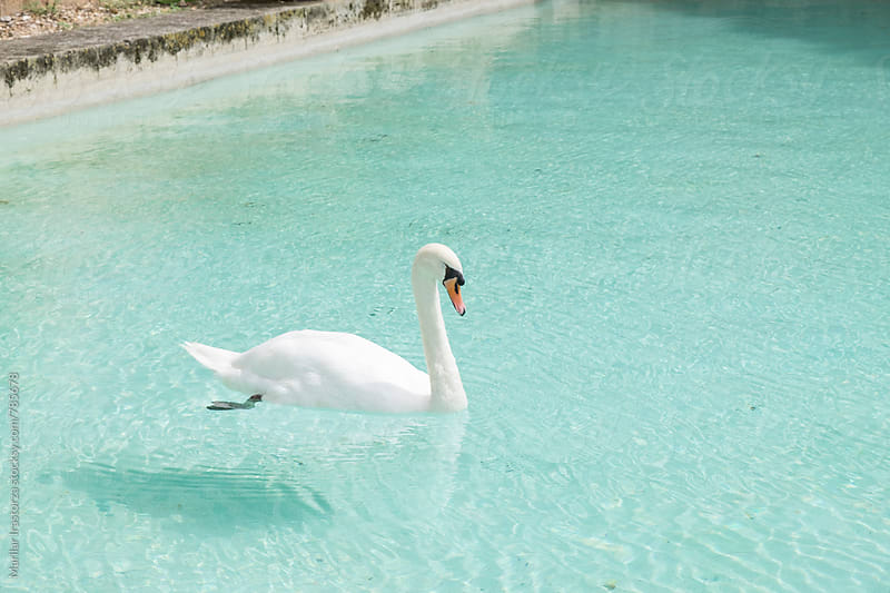 Swan swimming in a pond by Marilar Irastorza for Stocksy United
