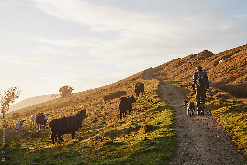 Male walking his dog beside cattle grazing on mountainside. Derbyshire, UK. by Liam Grant for Stocksy United