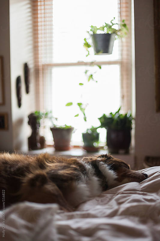 Dog sleeps on owner's bed. by Holly Clark for Stocksy United