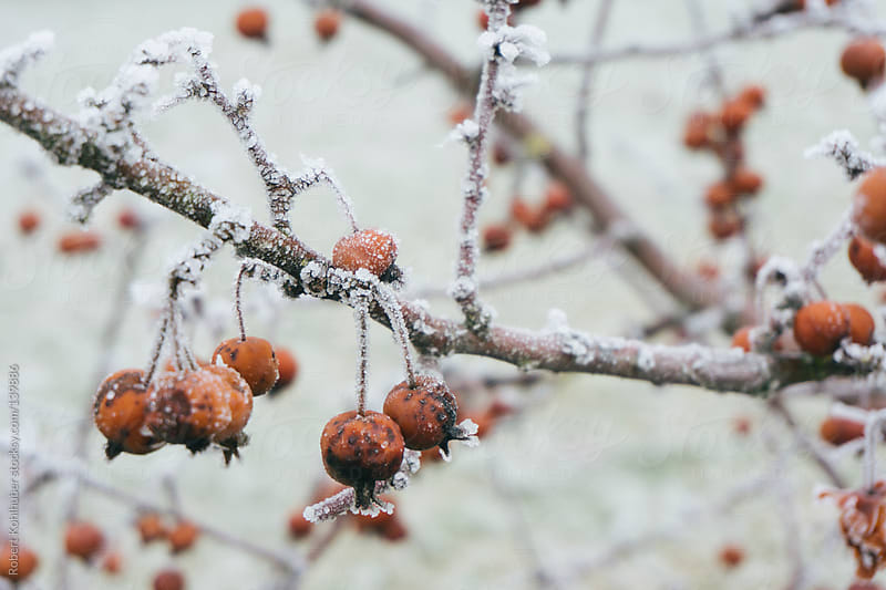 Frozen berries in winter by Robert Kohlhuber for Stocksy United