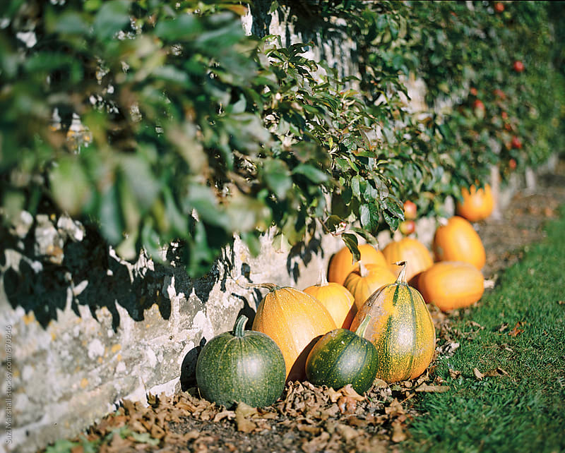 Ripe pumpkins in a garden by Suzi Marshall for Stocksy United