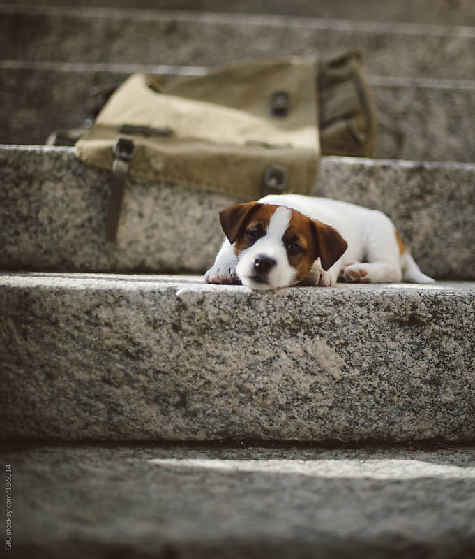 Tired Jack Russell puppy on the stairs by GIC for Stocksy United