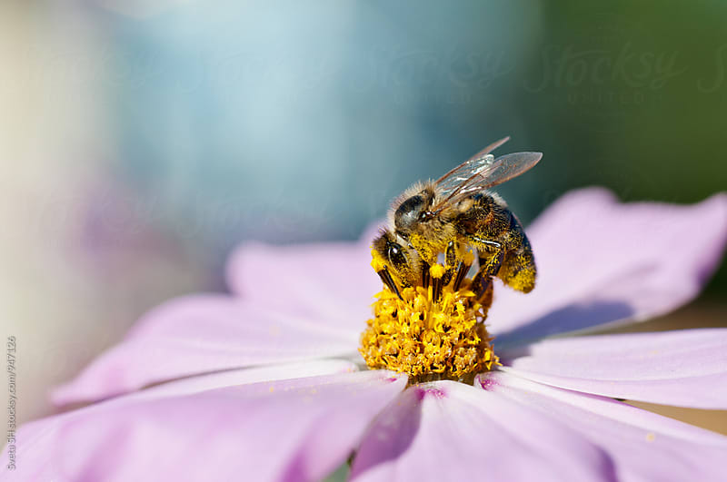Bumblebee (Bombus) on a flower of Cosmos bipinnatus by Svetlana Shchemeleva for Stocksy United