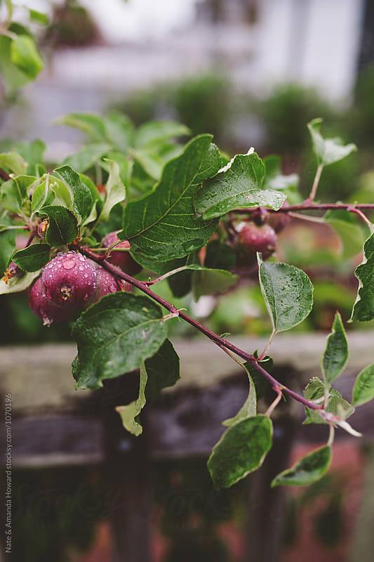 fruit tree by Nate & Amanda Howard for Stocksy United