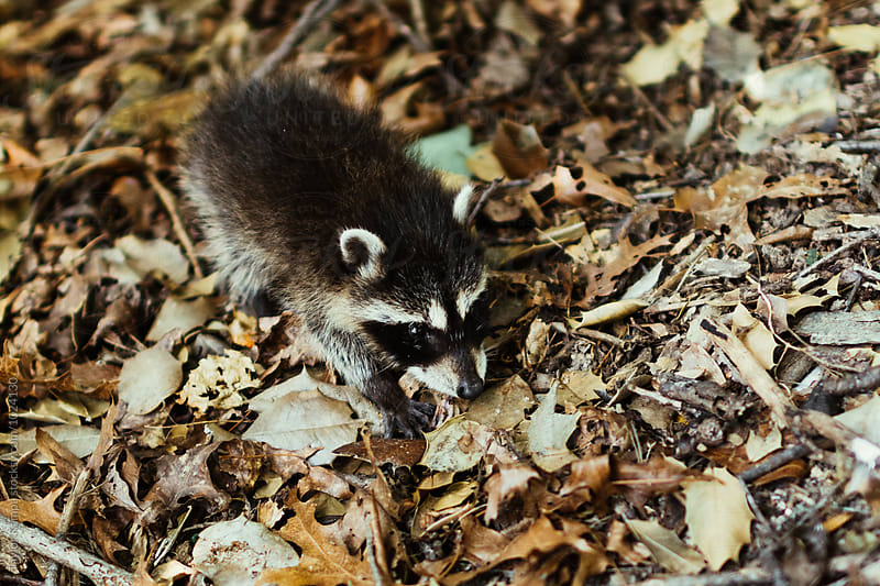 A Baby Raccoon by Taylor Kampa for Stocksy United