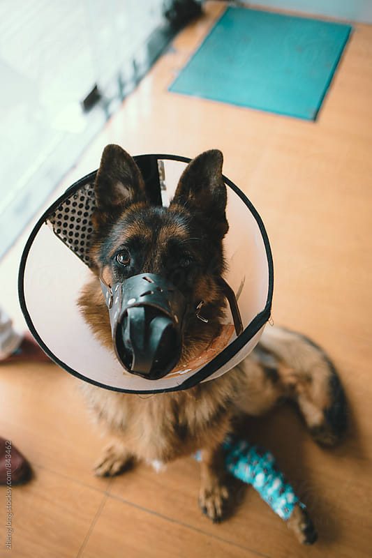 Wounded German Shepherd in pet hospital by zheng long for Stocksy United