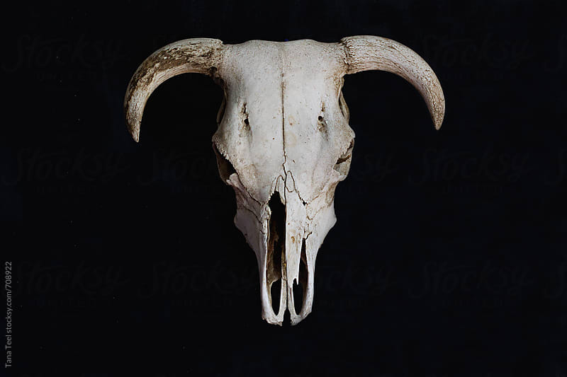 Cow skull on black wall by Tana Teel for Stocksy United