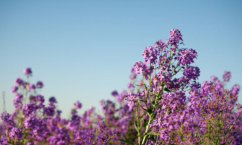 Purple Weeds, Beautiful by Brian McEntire for Stocksy United
