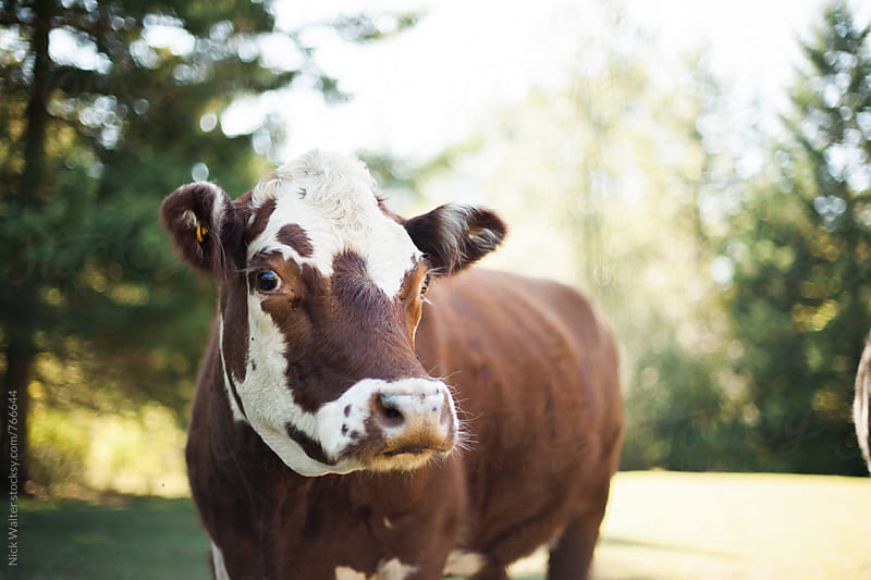 Cute Cows On a Farm by Nick Walter for Stocksy United