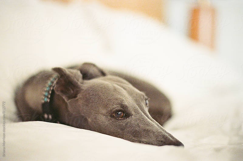 Grey Whippet curled up on bed with white sheets. by Briana Morrison for Stocksy United