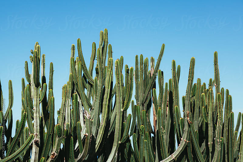 Cactus Over a Blue Sky by Victor Torres for Stocksy United