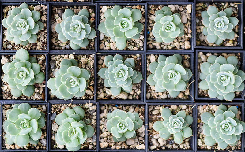 Beautiful Succulent Plants in Small Pots in Order by Lawren Lu for Stocksy United