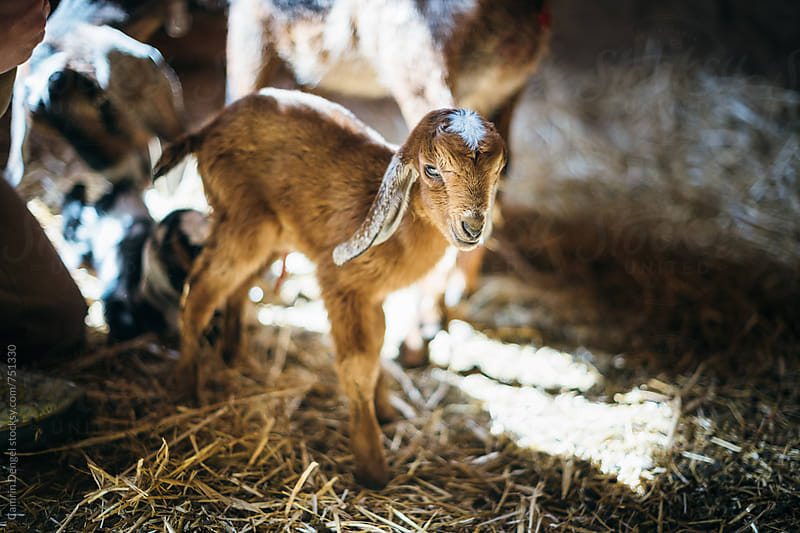 Baby Goat by Camrin Dengel for Stocksy United