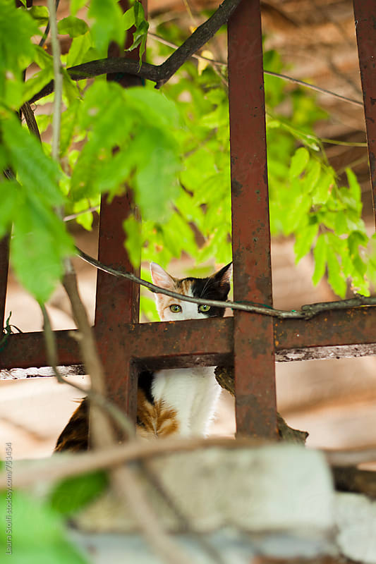 Cat hiding behind rusty fence on top of garden wall and peering out by Laura Stolfi for Stocksy United