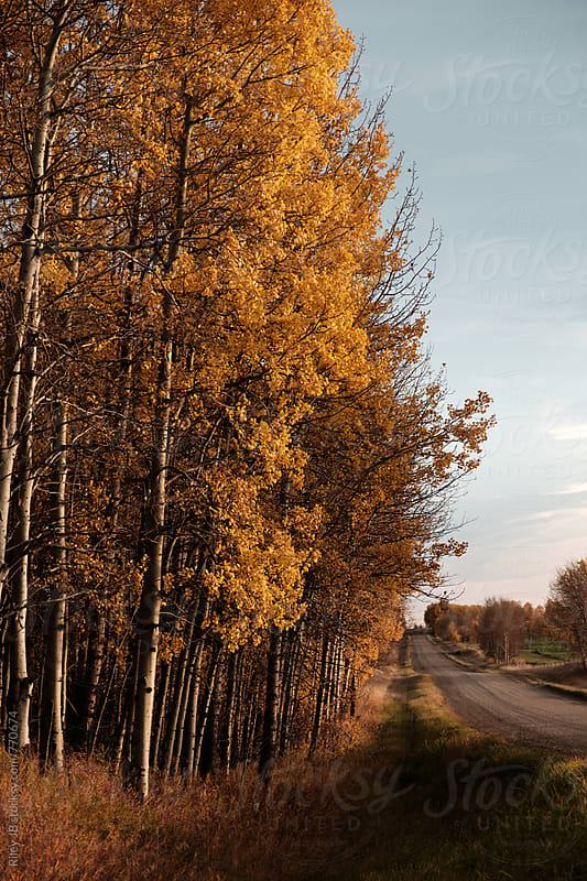Trees with yellow leaves line a rural dirt road by Riley J.B. for Stocksy United