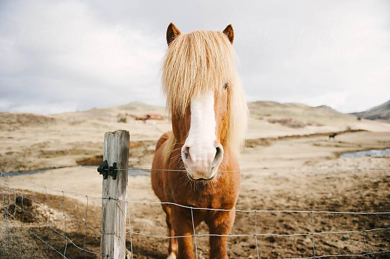Wild Icelandic Horse by Daring Wanderer for Stocksy United