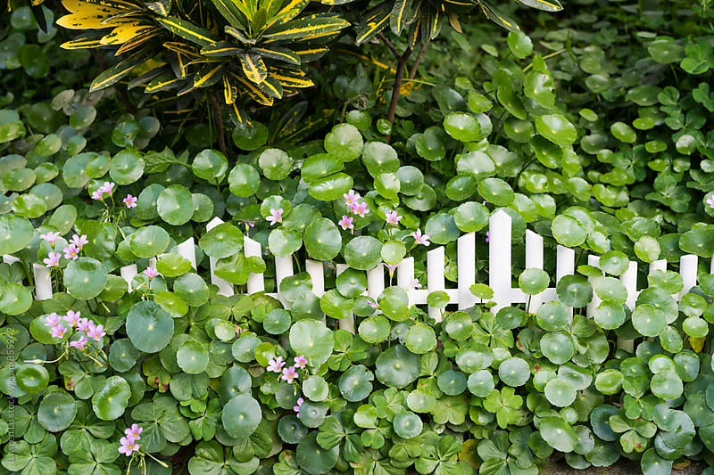 Little green leaves and purple flowers in the garden with white fence by Lawren Lu for Stocksy United