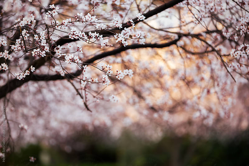 Cherry Trees by Helen Sotiriadis for Stocksy United