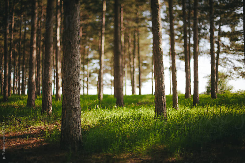 Beautiful pine tree forest in spring by paff for Stocksy United