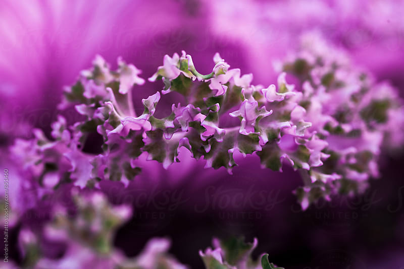 closeup of a the frilly edge of a purple kale leaf by Deirdre Malfatto for Stocksy United