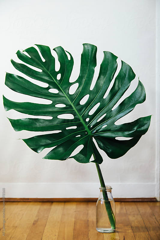 Large philodendron by Ali Lanenga for Stocksy United