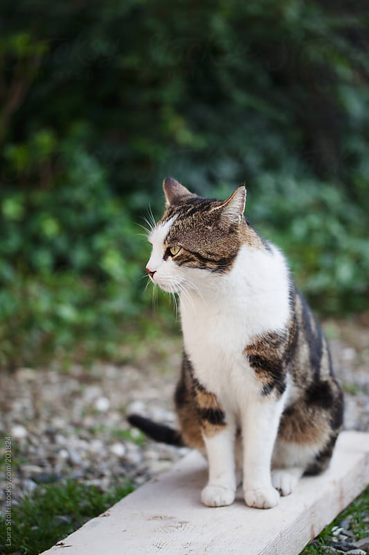 Handsome cat sits on white wooden board in garden by Laura Stolfi for Stocksy United