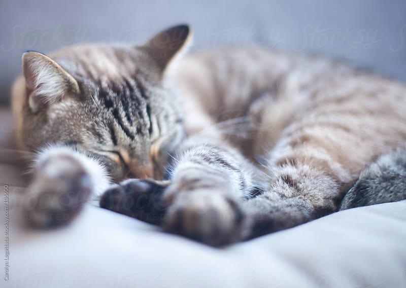 cat happily sleeping on a soft chair by Carolyn Lagattuta for Stocksy United