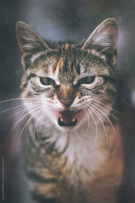 Cat meowing by Jovana Rikalo for Stocksy United