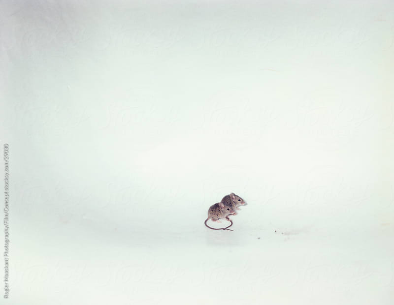 2 mice by Rogier Maaskant Photography/Film/Concept for Stocksy United