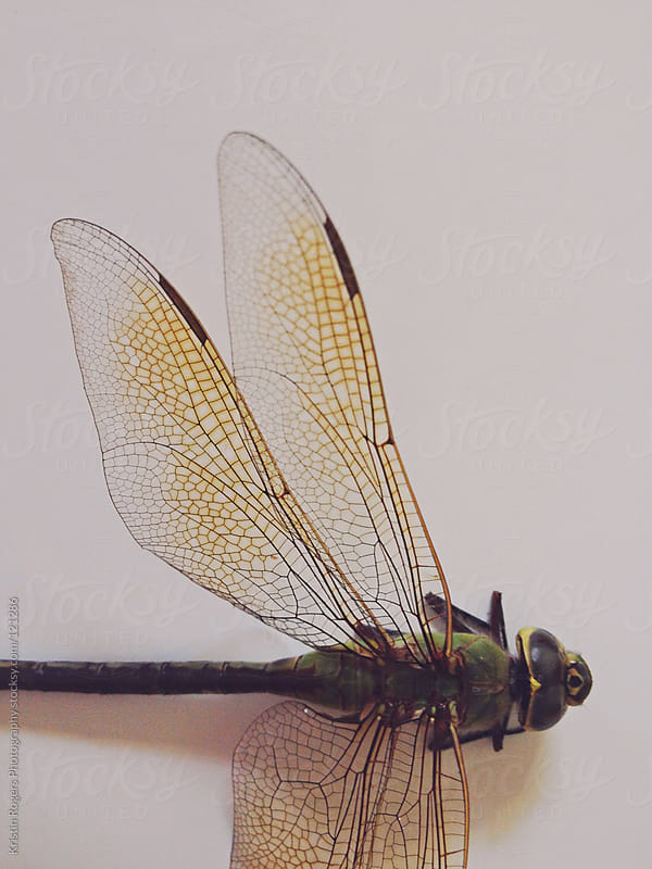 close up picture of dragonfly  by Kristin Rogers Photography for Stocksy United