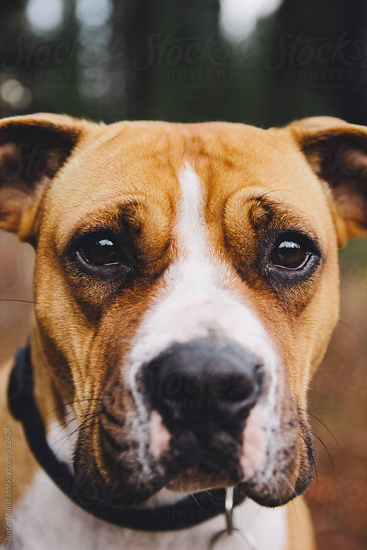 Close up of a dog's big sad eyes.  by Justin Mullet for Stocksy United