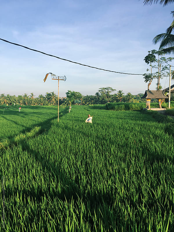 Bali Rice Paddy by Jesse Weinberg for Stocksy United