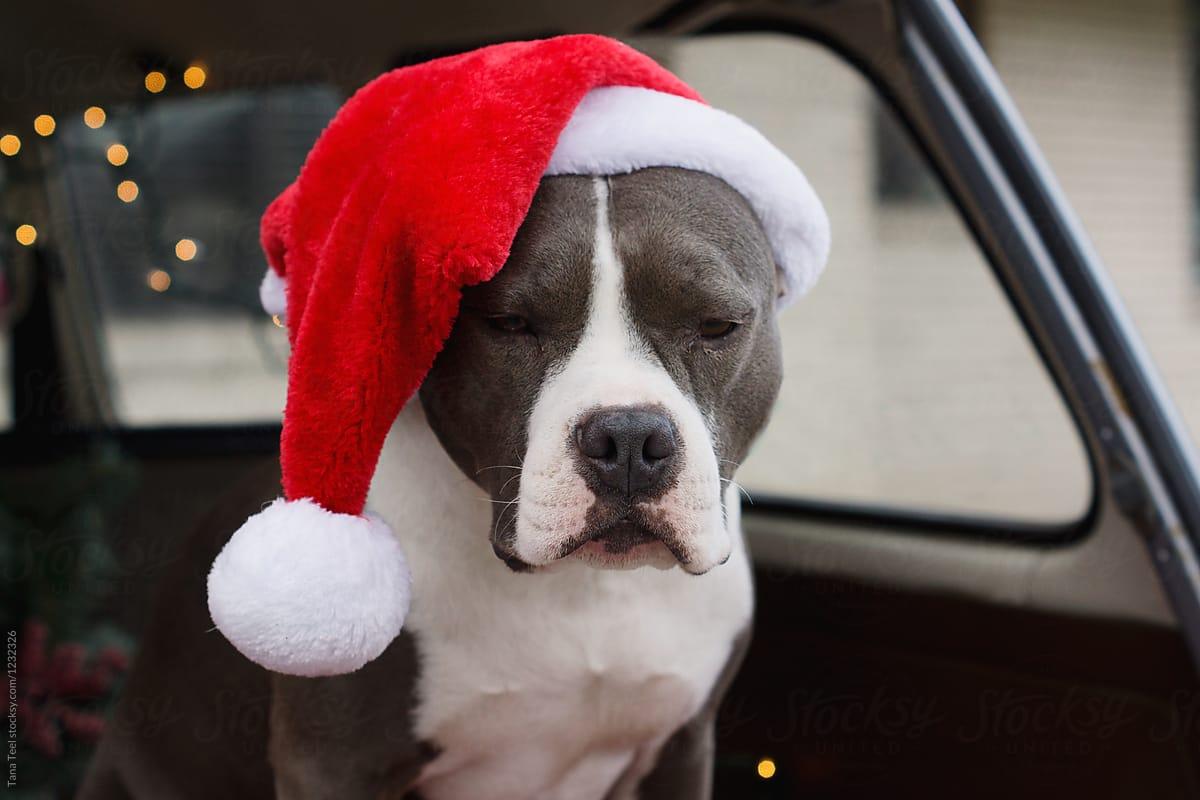 104e87016fc64 Dog Wearing Santa Hat